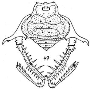 Acanthogonyleptes editus