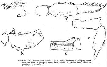 Austromontia litoralis