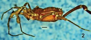 Hernandarioides plana Kury Quintero-2014