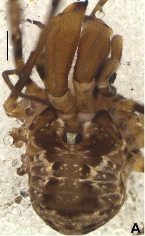 Thrasychiroides ybytyra