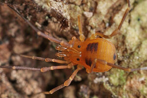 Biantidae by WJ