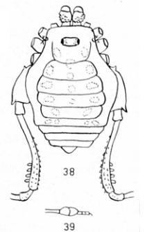 Kevonones luteomaculatus