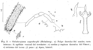 Holmbergiana weyenberghii