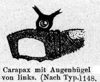 Euceratobunus pulcher