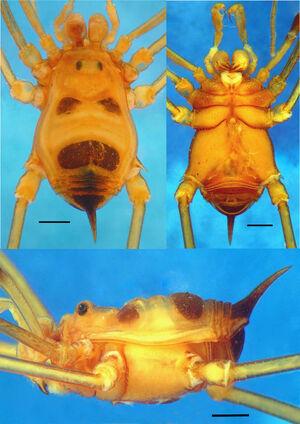 Licornus atroluteus habitus small