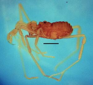 Paratricommatus modestus MZSP 22360 (3)