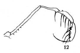Acrobunus thorelli Banks-1930a