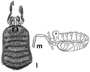 Giljarovia tenebricosa (Redikortsev, 1936) by Martens 2006
