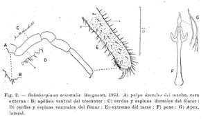 Holmbergiana orientalis