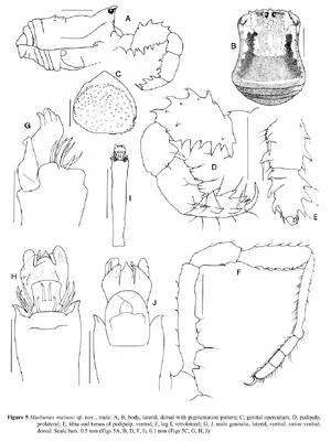 Miobunus mainae Hunt-1995