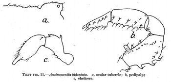 Austromontia bidentata