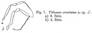 Tithaeus cruciatus Roewer-1927a