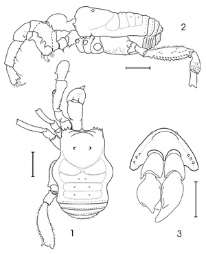 Caramaschia singularis Kury-2002