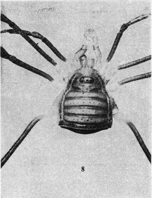 Laneosores inermis Soares-B-1944d