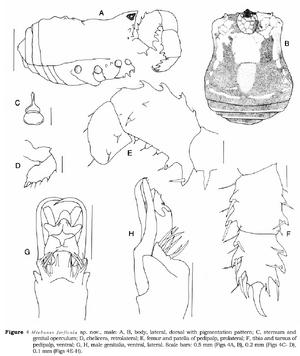 Miobunus forficula Hunt-1995