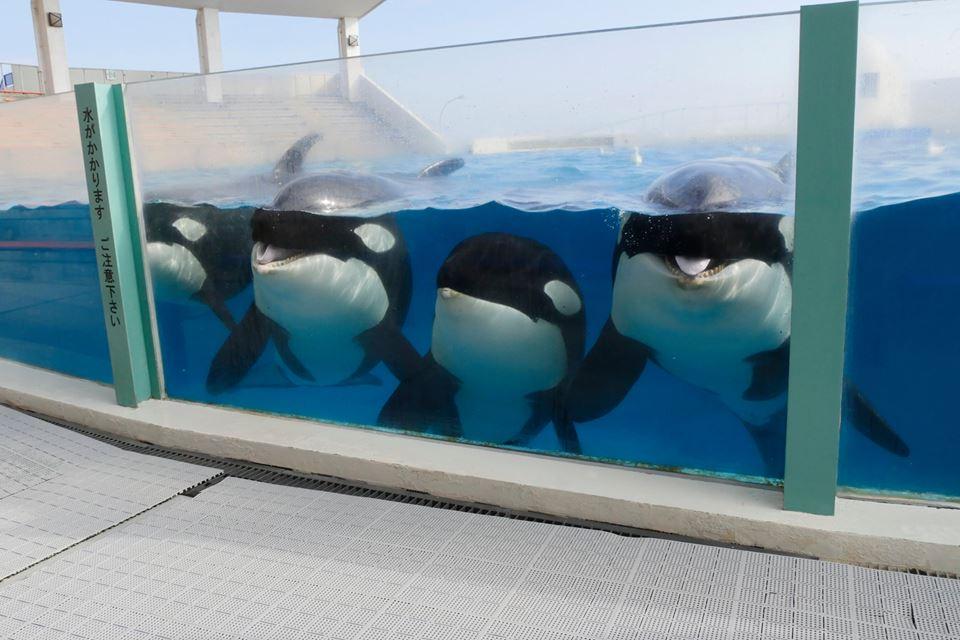 Des nouvelles des orques du sea world kamogawa - Page 2 Latest?cb=20160117052650