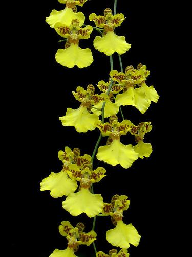 Oncidium flexuosum | Orchids Wiki | Fandom powered by Wikia