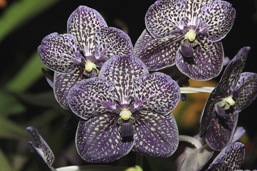 vanda gordon dillon orchids wiki fandom powered by wikia
