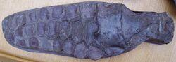 Ichthyosaur paddle 1