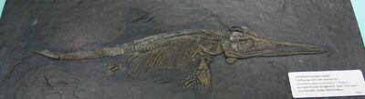 Ichthyosaur fossil