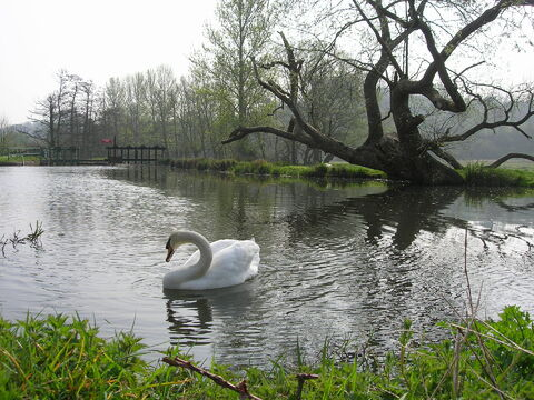 Swan in beautiful lake