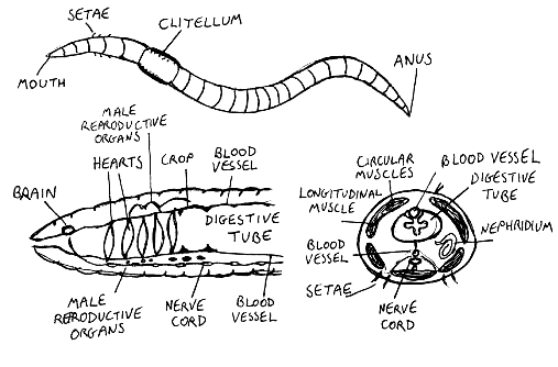 File:Wormanatomy.png