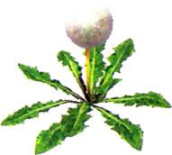 File:Seedingdandelion.jpg
