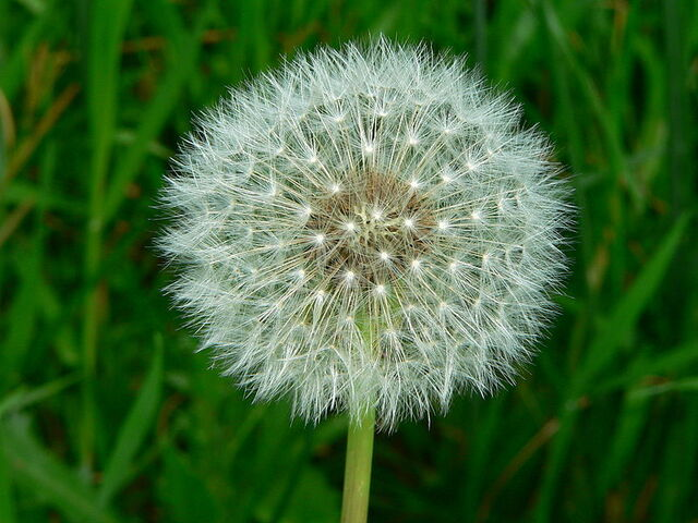 File:Dandelion Seed.JPG