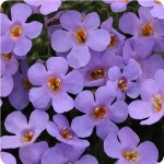 Bacopa-abunda-colossal-blue
