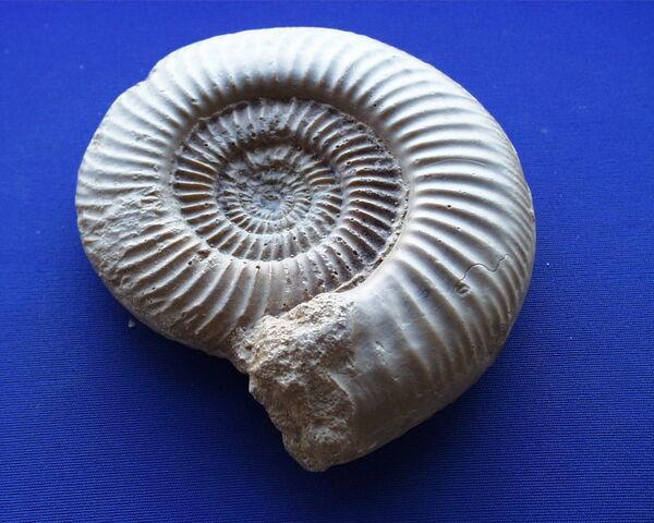 File:Fossile00041.jpg