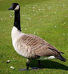 File:220px-Canada goose.jpg