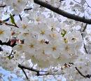 Prunus × yedoensis
