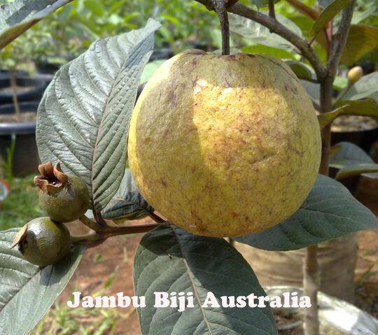 File:Jambu-australia.jpg