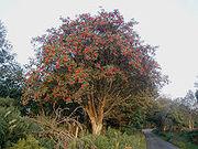220px-Rowan tree 20081002b