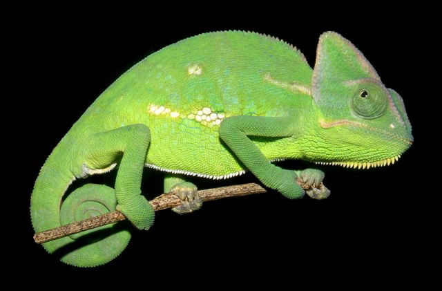 File:Veiled Chameleon.jpg