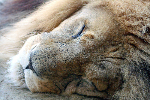 File:The Lion sleeps tonight.....jpg
