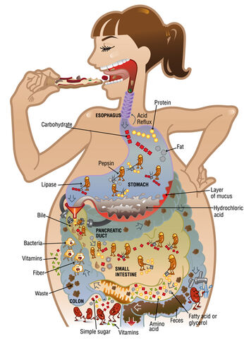 File:Digestion-illustration acs.jpg