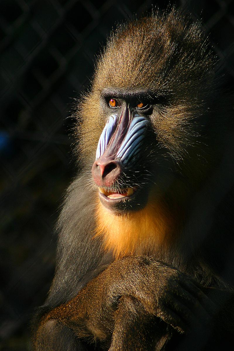 Прон с шимпанзе 7 фотография