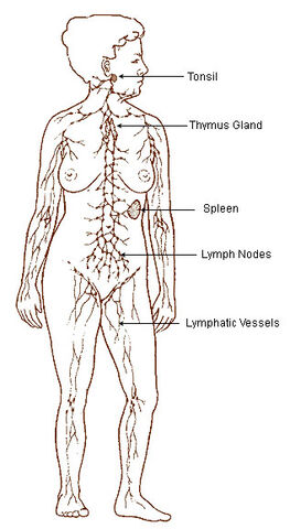 File:Illu lymphatic system.jpg