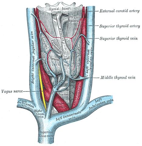 File:Thyroidgland.png