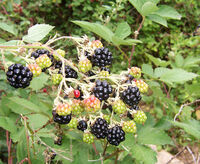 Blackberry fruits10