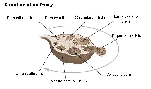 File:Illu ovary 2.jpg