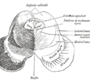 Inferior colliculus