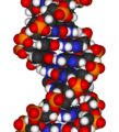 DNA-fragment-3D-vdW.png