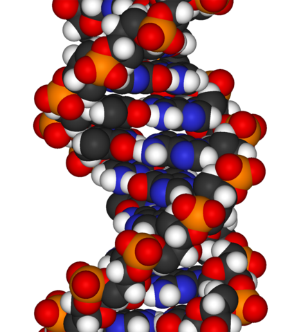 File:DNA-fragment-3D-vdW.png