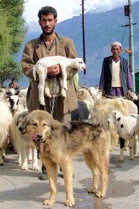 Shepherd&Dog