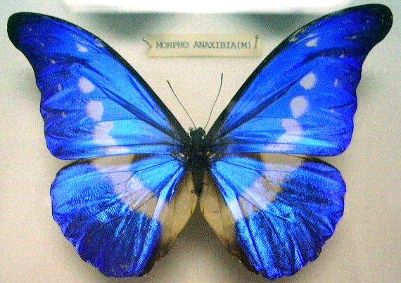 File:Butterfly Morpho Anaxibia (M) KL.jpg
