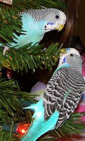 Blue Parakeets
