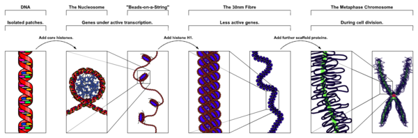 Chromatin Structures