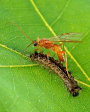 File:Aleiodes indiscretus wasp parasitizing gypsy moth caterpillar.jpg